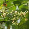 Cinchona pubescens-IMG 9427.JPG