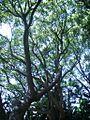 Cinnamomum camphorum.JPG
