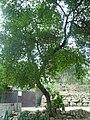 Cirerer de santa Llúcia del parc de l'Oreneta P1510579.jpg