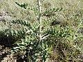 Cirsium flodmanii (27304146330).jpg