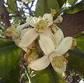 Citrus blossoms Kefar Saba February 2015 000.jpg