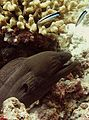 Cleaner wrasse and Moray eel.jpg