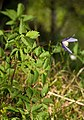 Clematis alpina 02.jpg