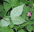 Clematis japonica (leaf s5).jpg