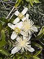 Clematis lasiantha (1).jpg