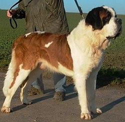 Cão de São Bernardo