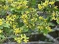 Climbing Raisin (Grewia caffra) (11478208853).jpg