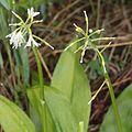 Clintonia udensis (fruits s2).jpg