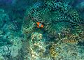 Clown fish at Mahatma Gandhi Marine National Park.jpg