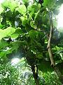 Coccoloba pubescens.jpg