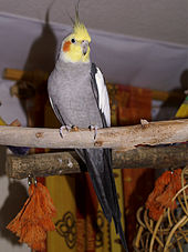 A slender mainly grey male crested parrot with a yellow and orange head perched on a horizontal wooden branch placed high in a room.
