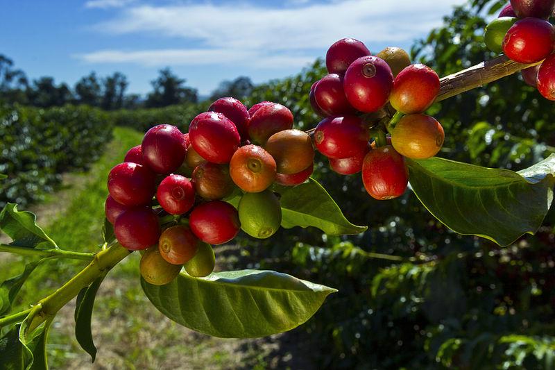 File:Coffee Berries.jpg
