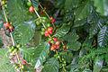 Coffee Fruits.jpg