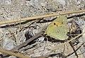 Colias croceus - Clouded yellow, Malatya 2018-09-27 01.jpg