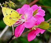 Colias erate and Rhododendron albrechtii in Mount Nogo 2011-06-12.jpg