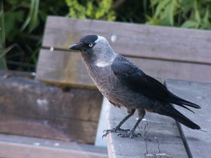 Western jackdaw - C. m. monedula in Sweden. This subspecies has a whitish partial collar.