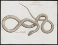 Coluber vittatus - 1700-1880 - Print - Iconographia Zoologica - Special Collections University of Amsterdam - UBA01 IZ12100047.tif