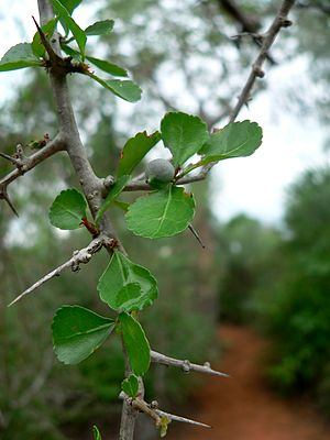 Commiphora - Image: Commiphora simplicifolia 02