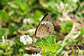 Common Buckeye (Junonia coenia) (14831056635).jpg