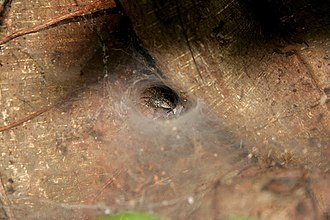 Araneomorphae - Hippasa agelenoides- common funnel web spider