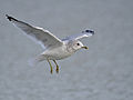 Common Gull Arundel.jpg