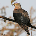 Common Hawk Cuckoo (Cuculus varius) in Hyderabad W IMG 7362.jpg