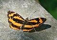 Common Jestor (Symbrenthia hippoclus) I IMG 6675.jpg