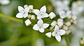 Common Marsh-Bedstraw (Galium palustre) - Guelph, Ontario 01.jpg