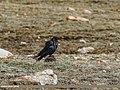 Common Raven (Corvus corax) (27749476605).jpg