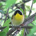Common Yellowthroat (26895339042).jpg