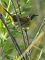 Common Yellowthroat (7654700966).jpg