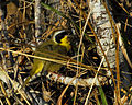 Common Yellowthroat at Lake Woodruff - Flickr - Andrea Westmoreland.jpg