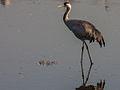 Common crane.jpg