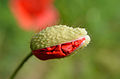 Common poppy (Papaver rhoeas).jpg