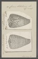 Conus betulinus - - Print - Iconographia Zoologica - Special Collections University of Amsterdam - UBAINV0274 086 03 0008.tif
