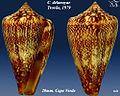 Conus delanoyae 4.jpg