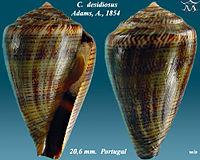 Conus desidiosus 1.jpg