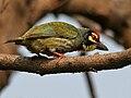 Coppersmith Barbet (Megalaima haemacephala) in Hyderabad W IMG 7070.jpg