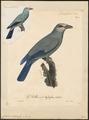 Coracias viridis - 1825-1834 - Print - Iconographia Zoologica - Special Collections University of Amsterdam - UBA01 IZ16700229.tif