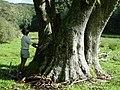 Cordyline australis old giant.jpg