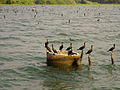 Cormorants in the Backwaters of Kerala.jpg