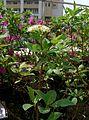 Cornus alba 'sibirica'2.jpg
