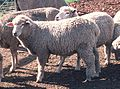 Corriedale sheep.JPG