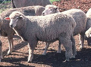 Corriedale - Corriedale sheep on a ranch in Charlo, Mission Valley, Montana