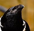 Corvus albus -Whitehouse Farm Centre, Morpeth, Northumberland, England -head-8a.jpg