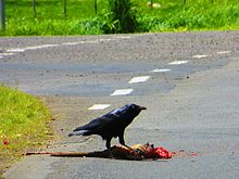 a black bird eating a mangled corpse of a kangaroo on a road