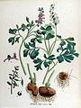 Corydalis cava — Flora Batava — Volume v17.jpg