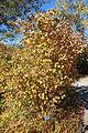 Corylus heterophylla var. sutchuenensis - Quarryhill Botanical Garden - DSC03246.JPG