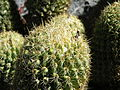 Coryphantha glassii (5742183075).jpg
