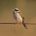 Coryphaspiza melanotis-Black-masked Finch.JPG